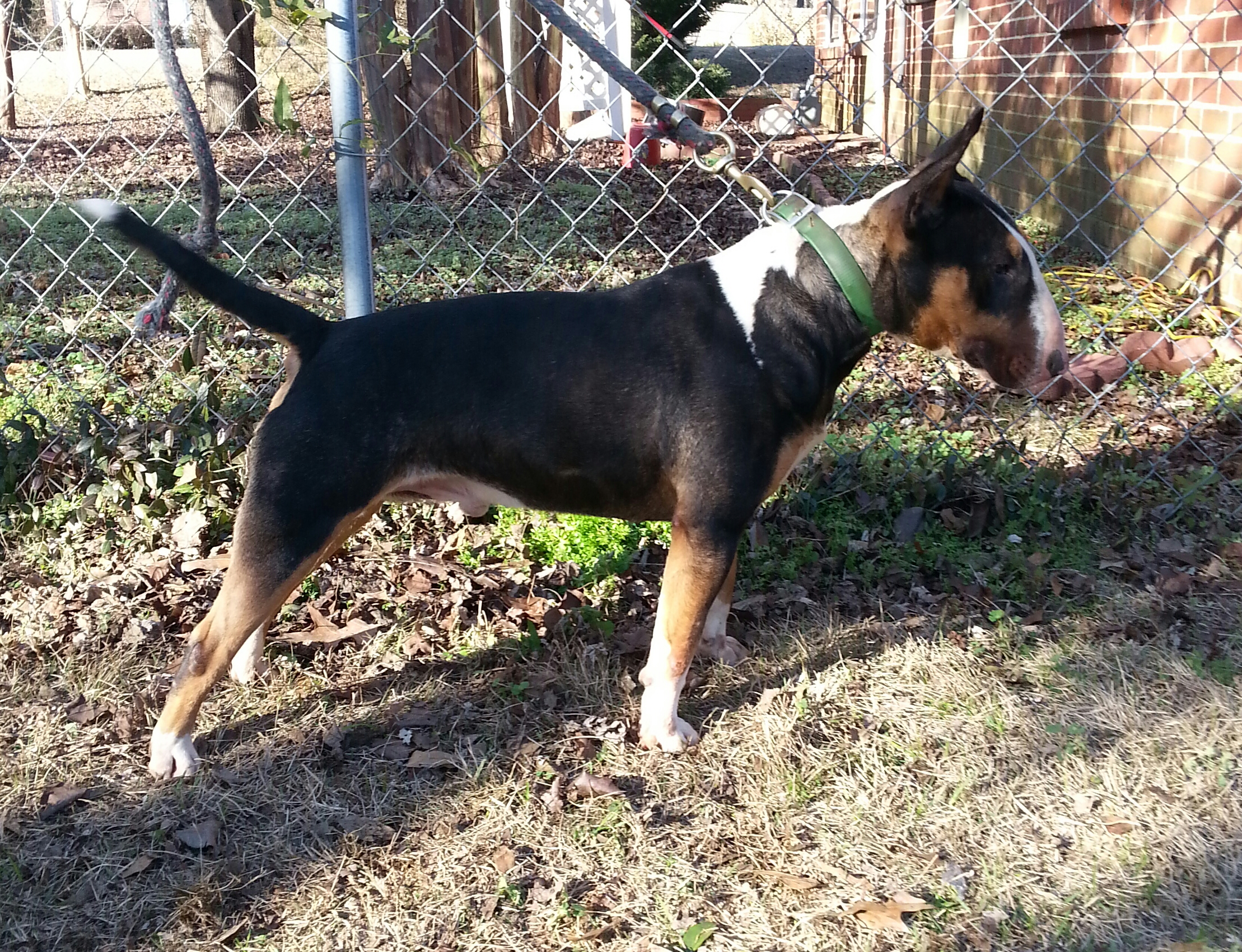 Male Bull Terrier Buddy