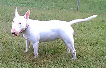 Kandie female bull terrier