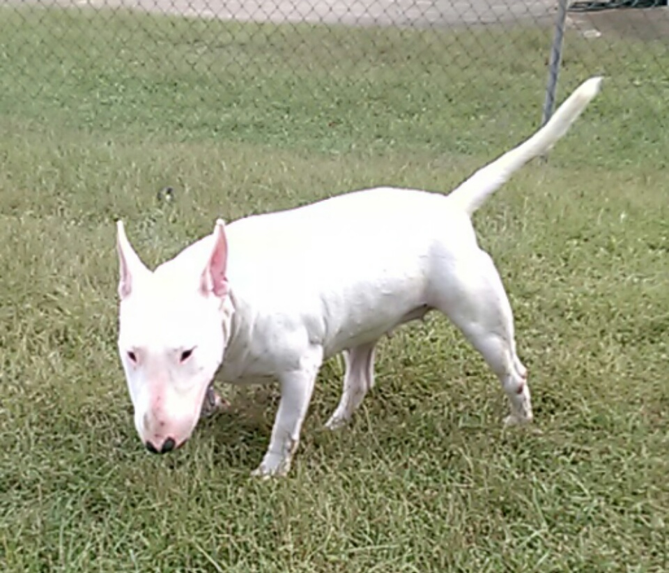 English Bull Terrier Kandie