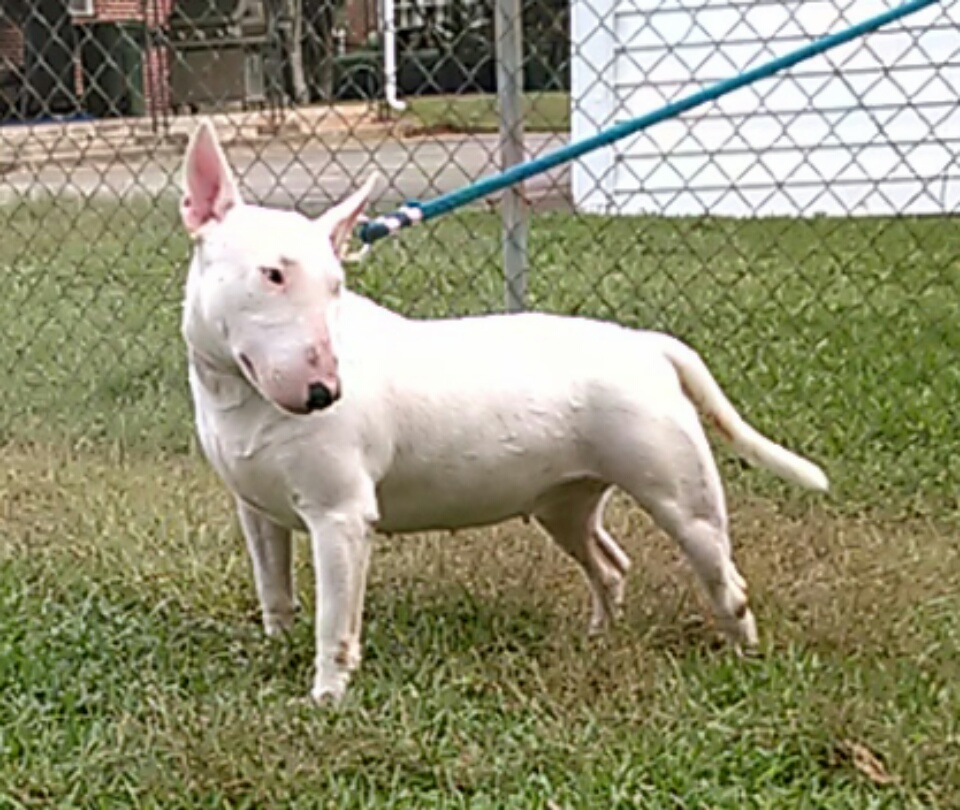 Boss Bull Terrier Puppies Kandie