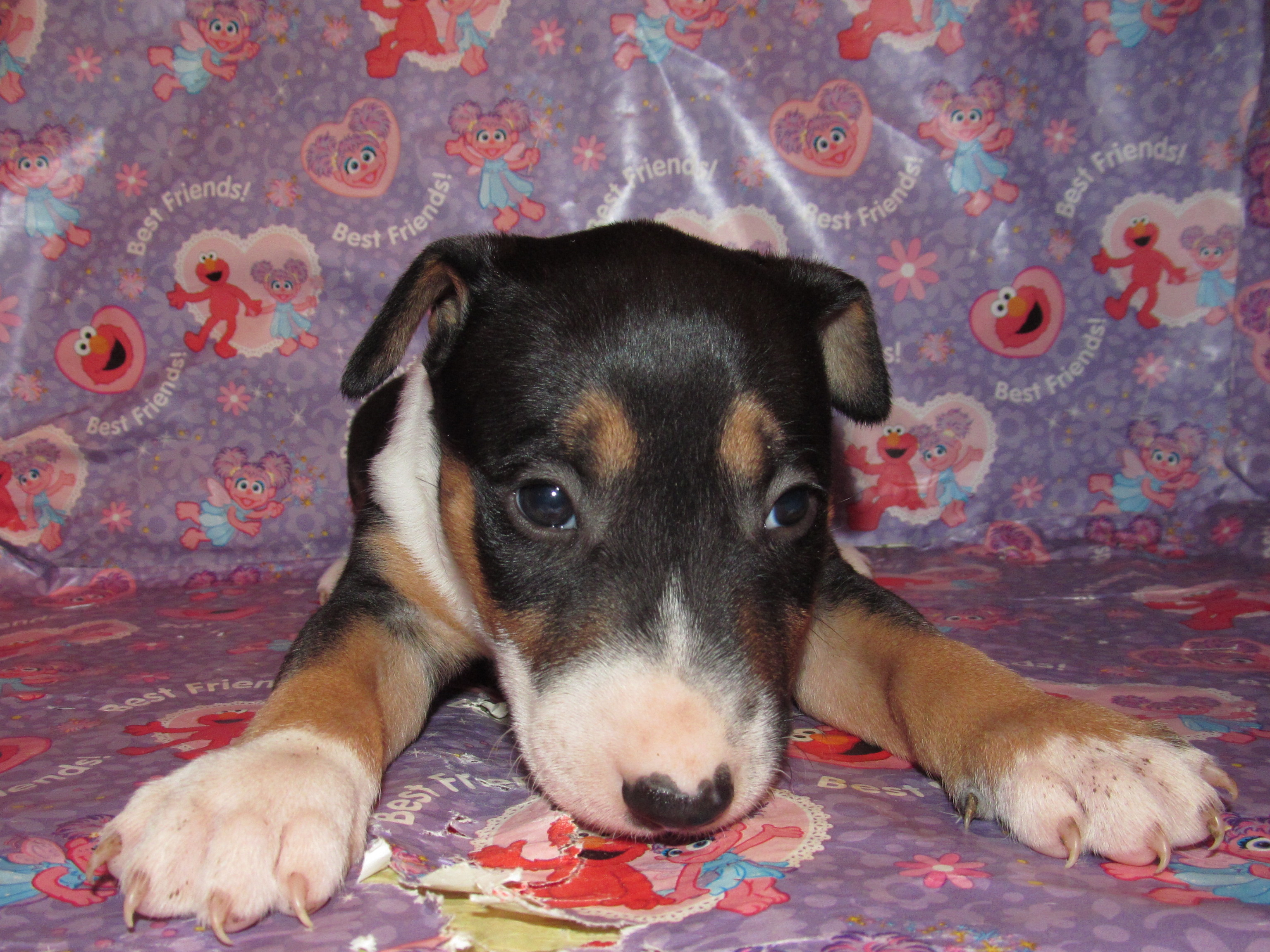 Tricolor bull terrier puppy 1