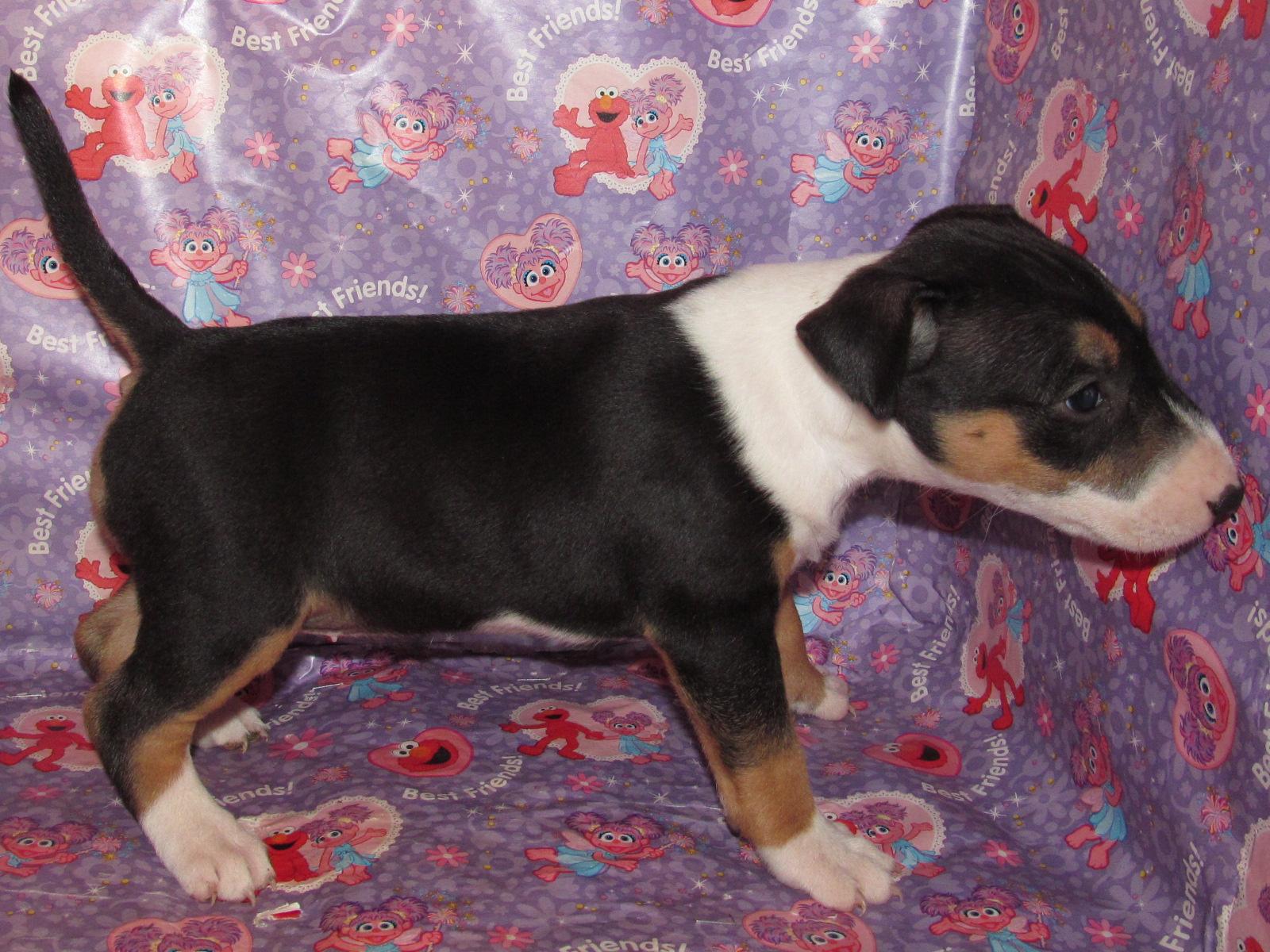 Bull Terrier Puppy 1 Female