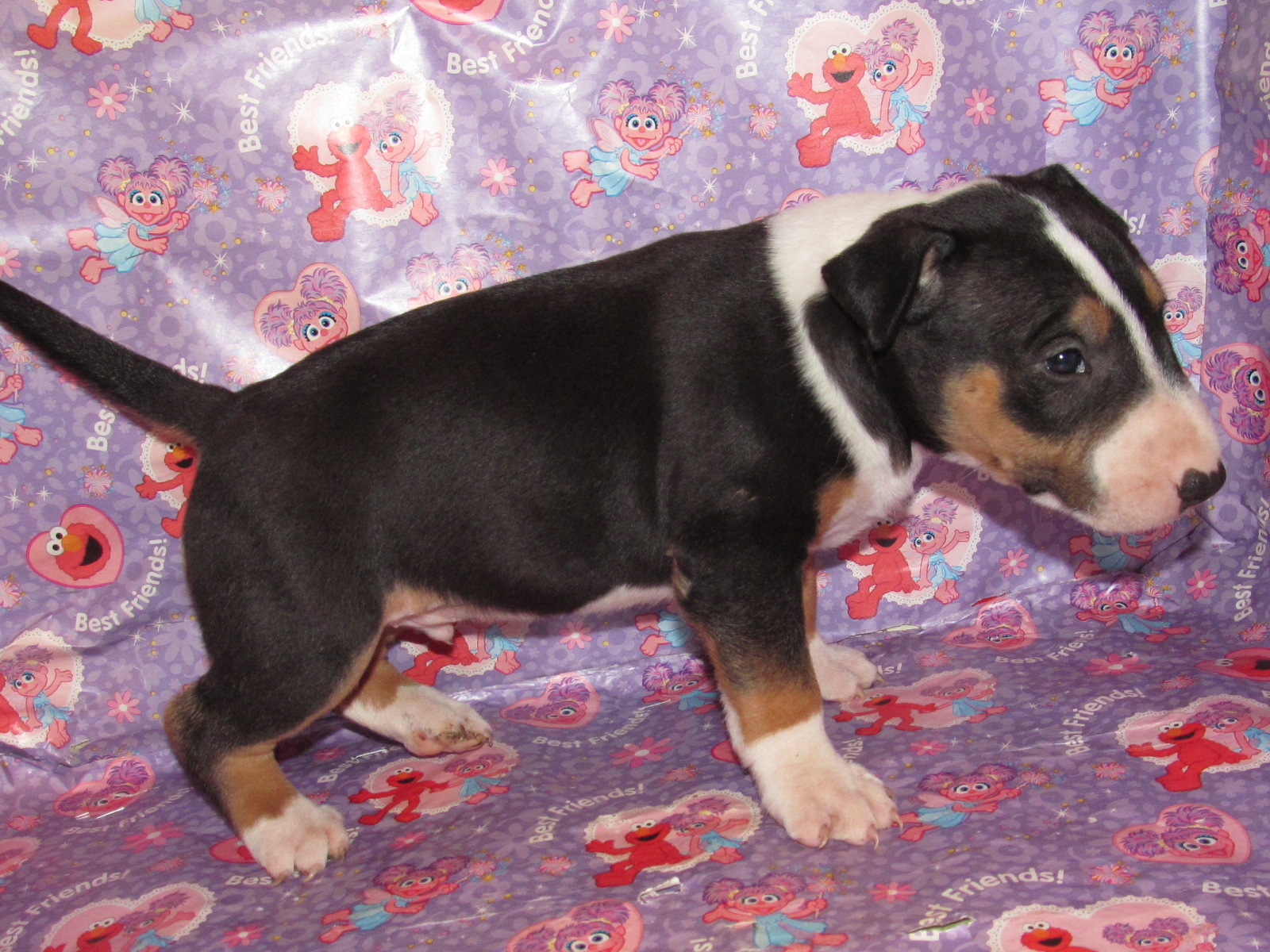 Male tricolor bull terrier puppy