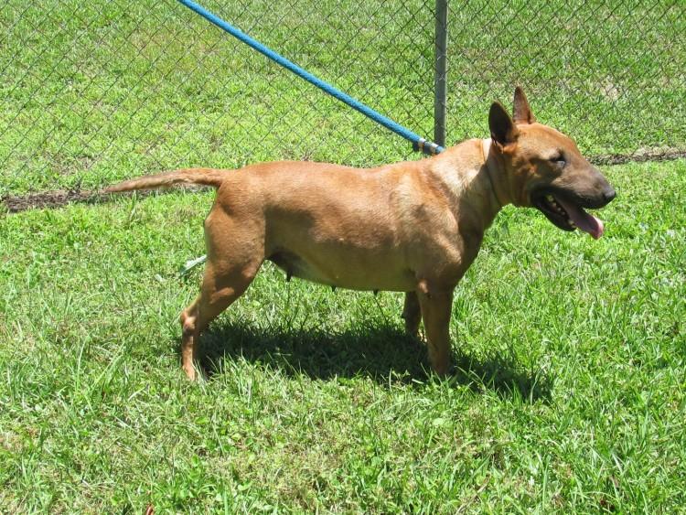English Bull Terrier Charlotte