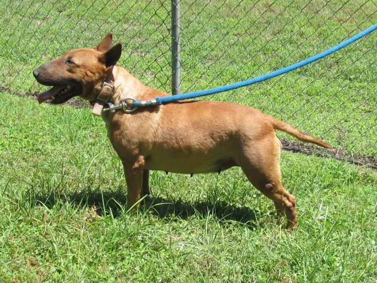 Bull Terrier Puppies Charlotte