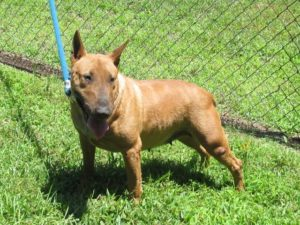 Charlotte female english bull terrier