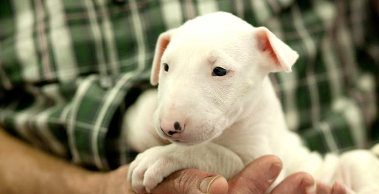 white bull terrier puppy