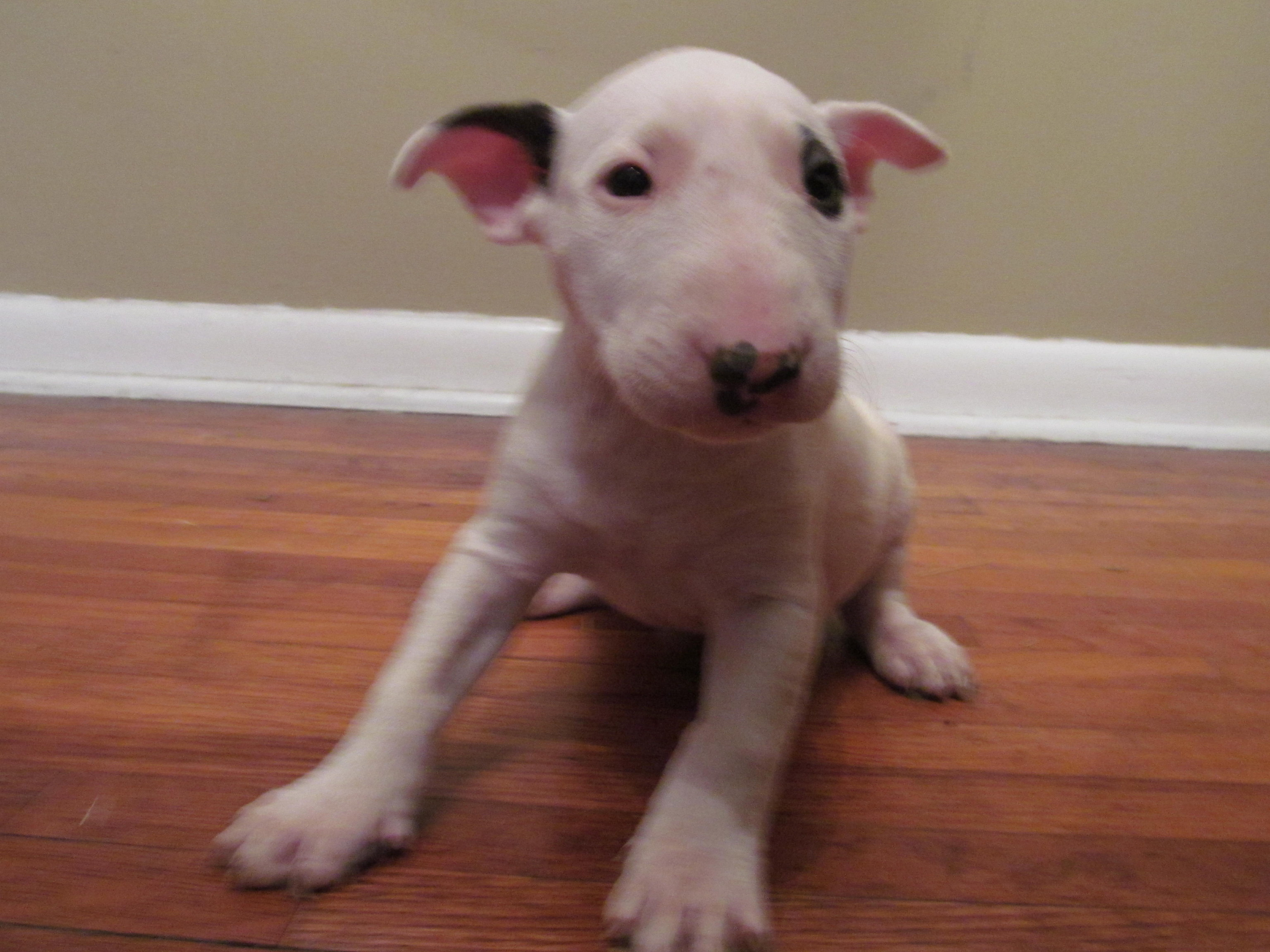 Bull Terrier puppy 2 tricolor
