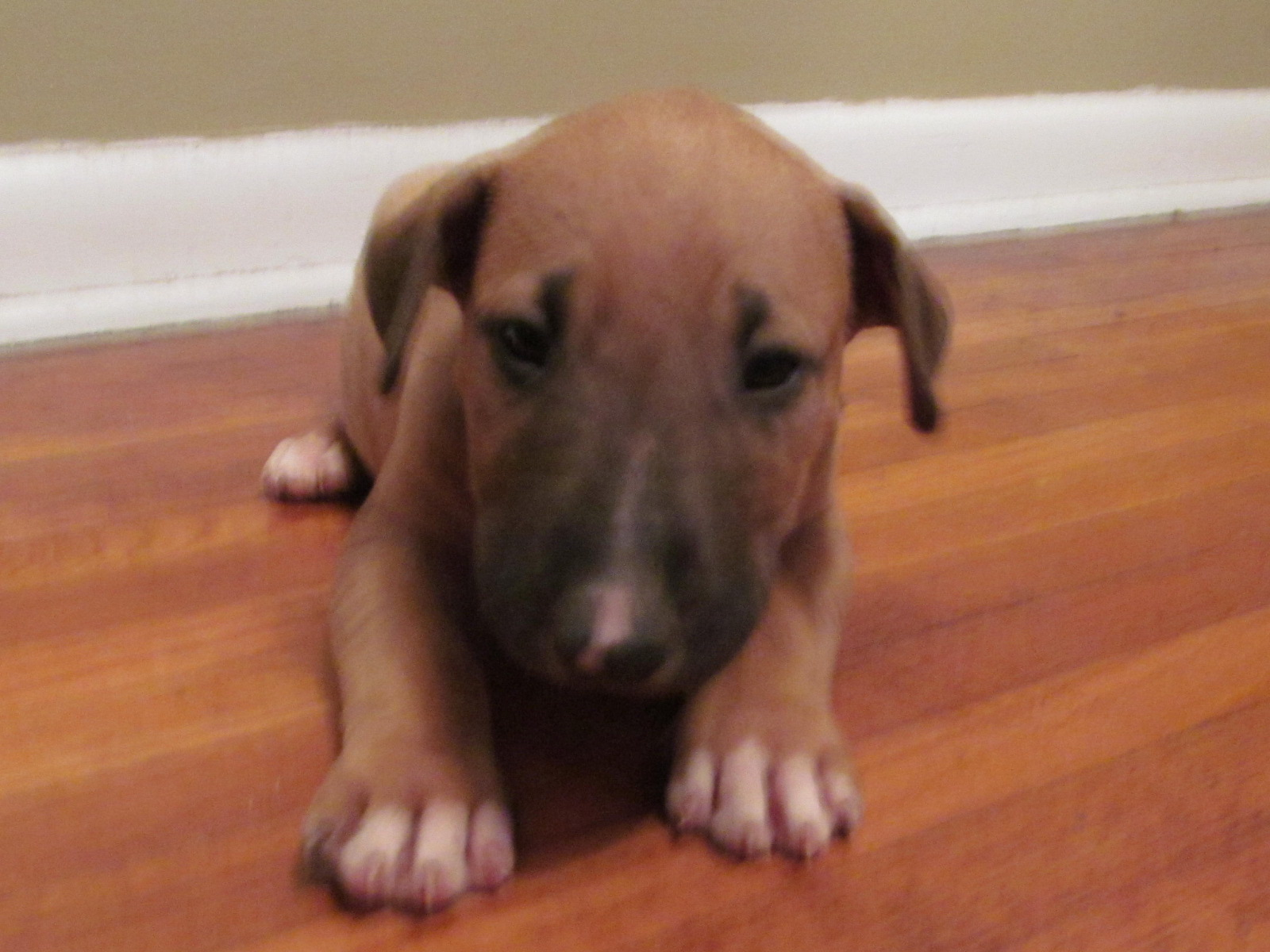 Bull Terrier Puppies 4 Male