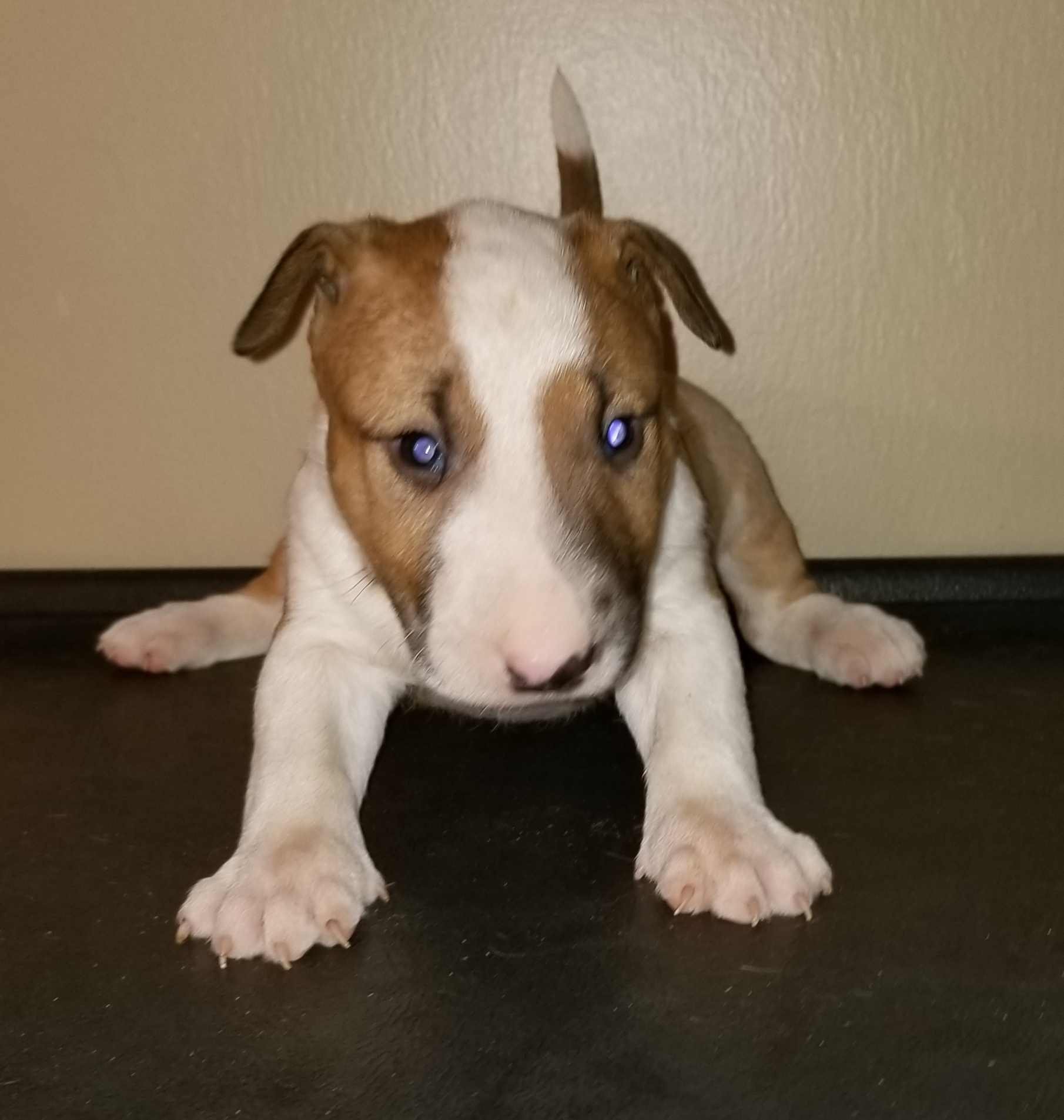 Male Bull Terrier Puppy 3