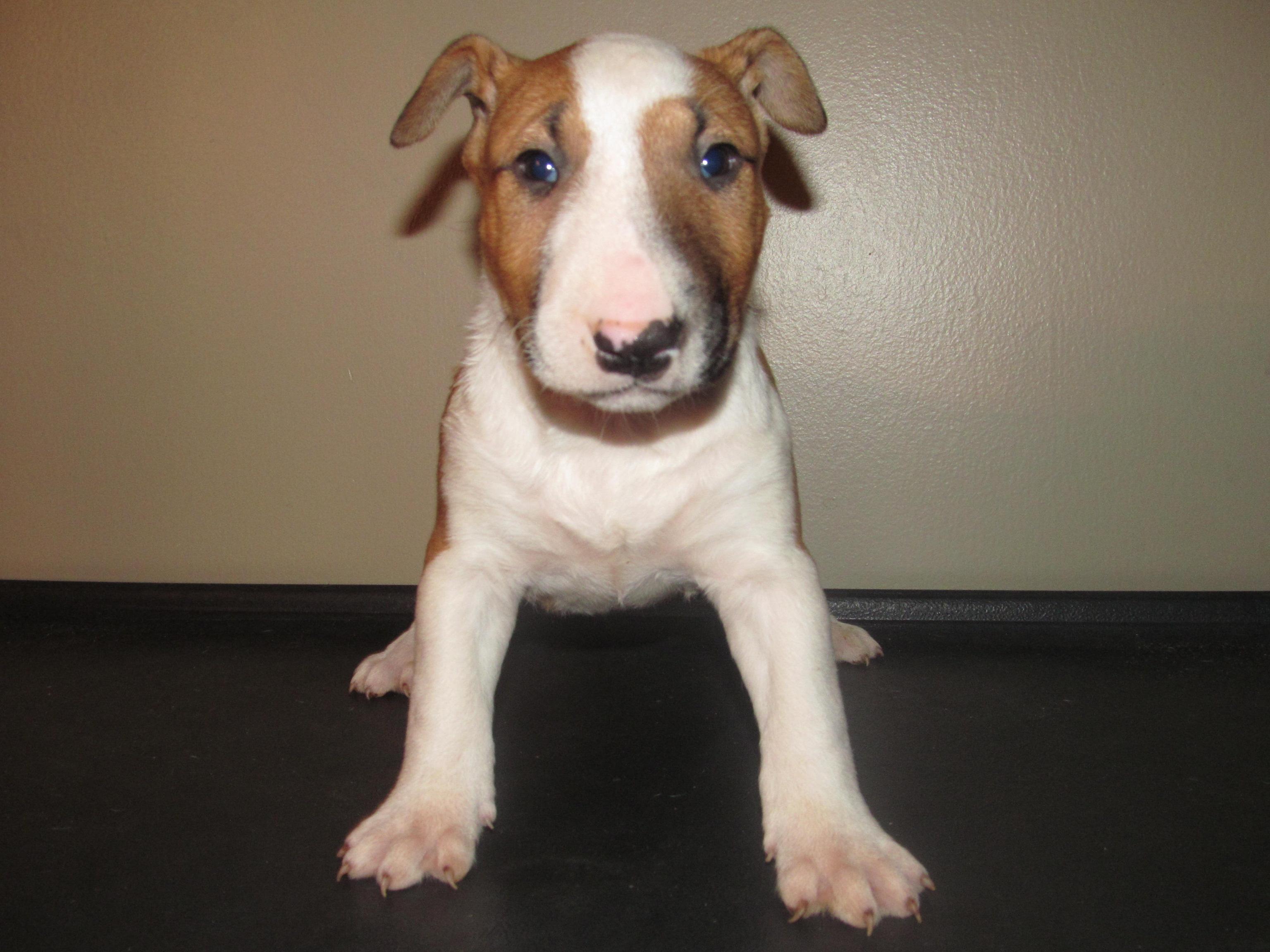 Male Bull Terrier Puppy 3