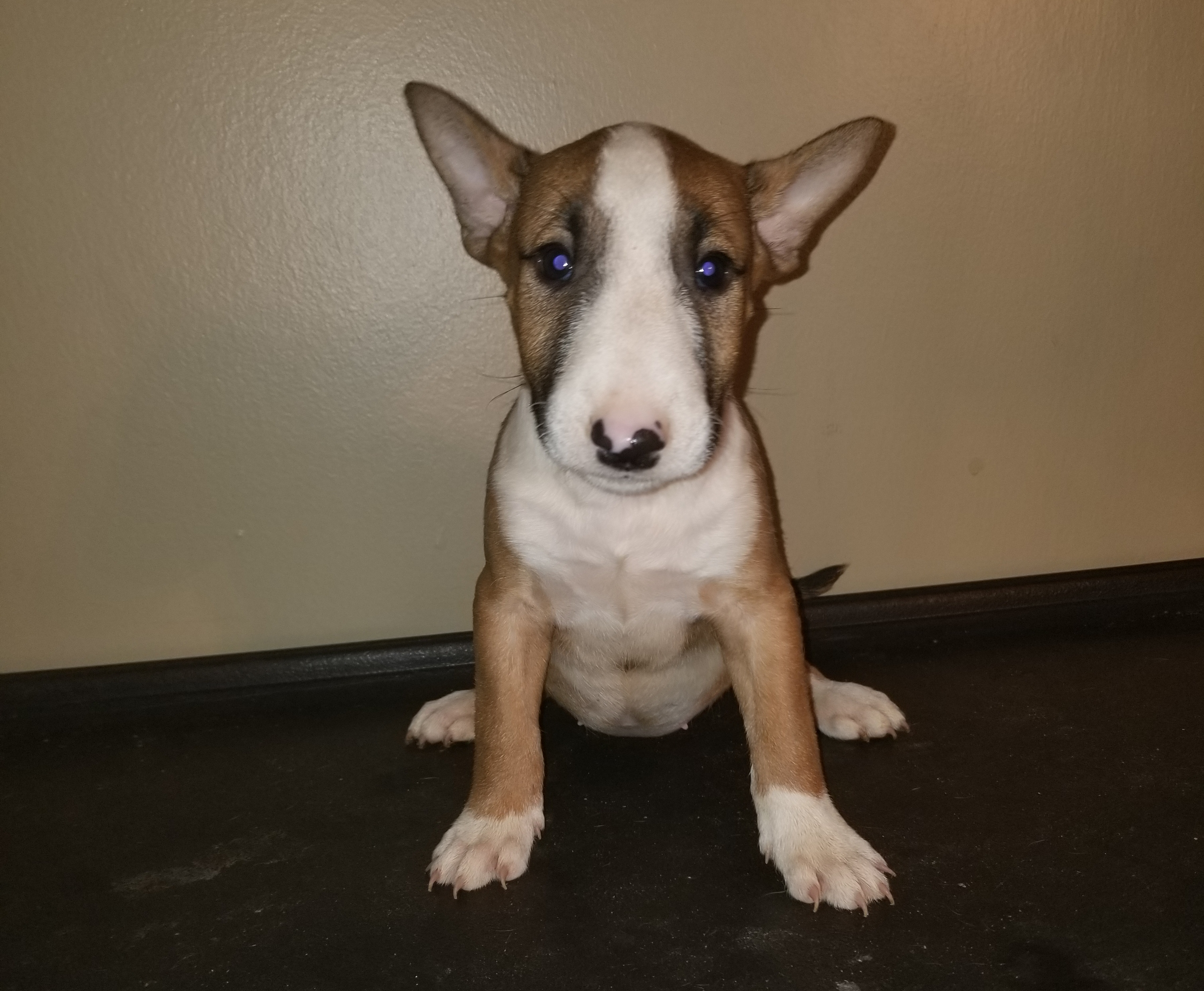 Bull Terrier Puppies Boss Bull Terriers
